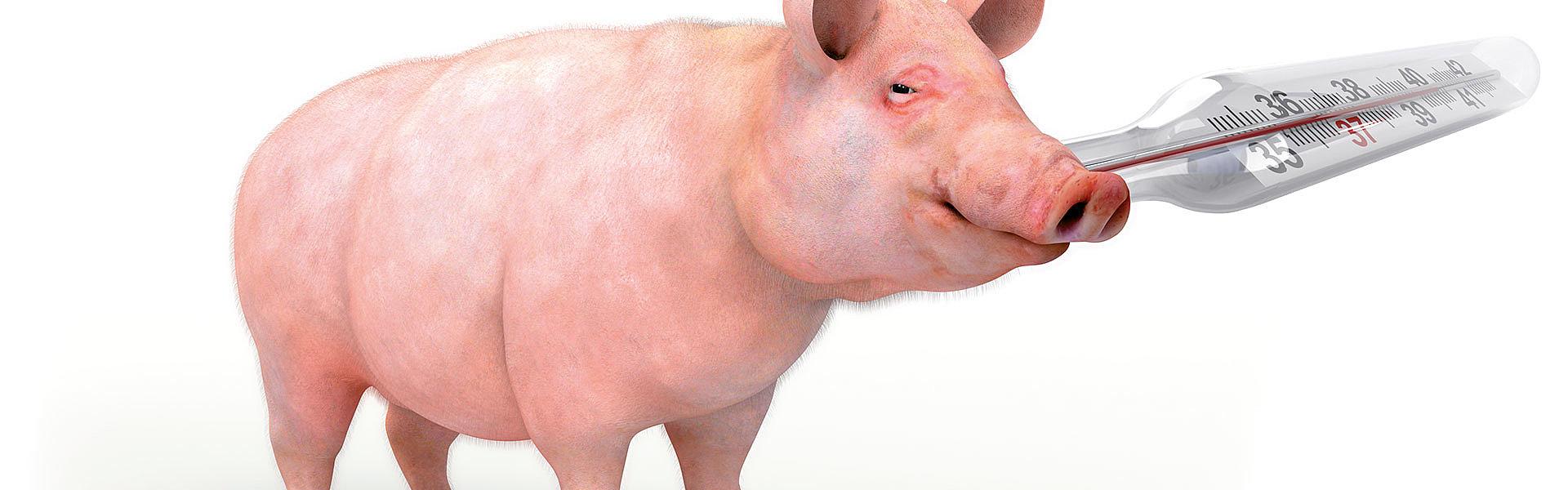 Heat Stress in Pigs   biomin.net