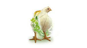 Avian Gout Kidney Failure Biomin Net
