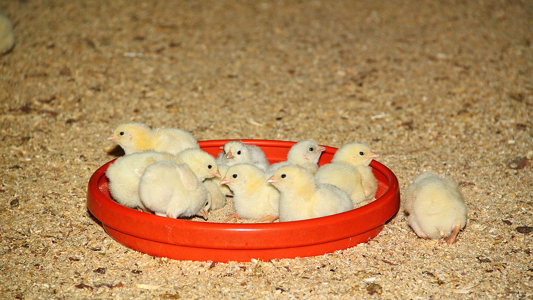 Probiotics in chicken feed
