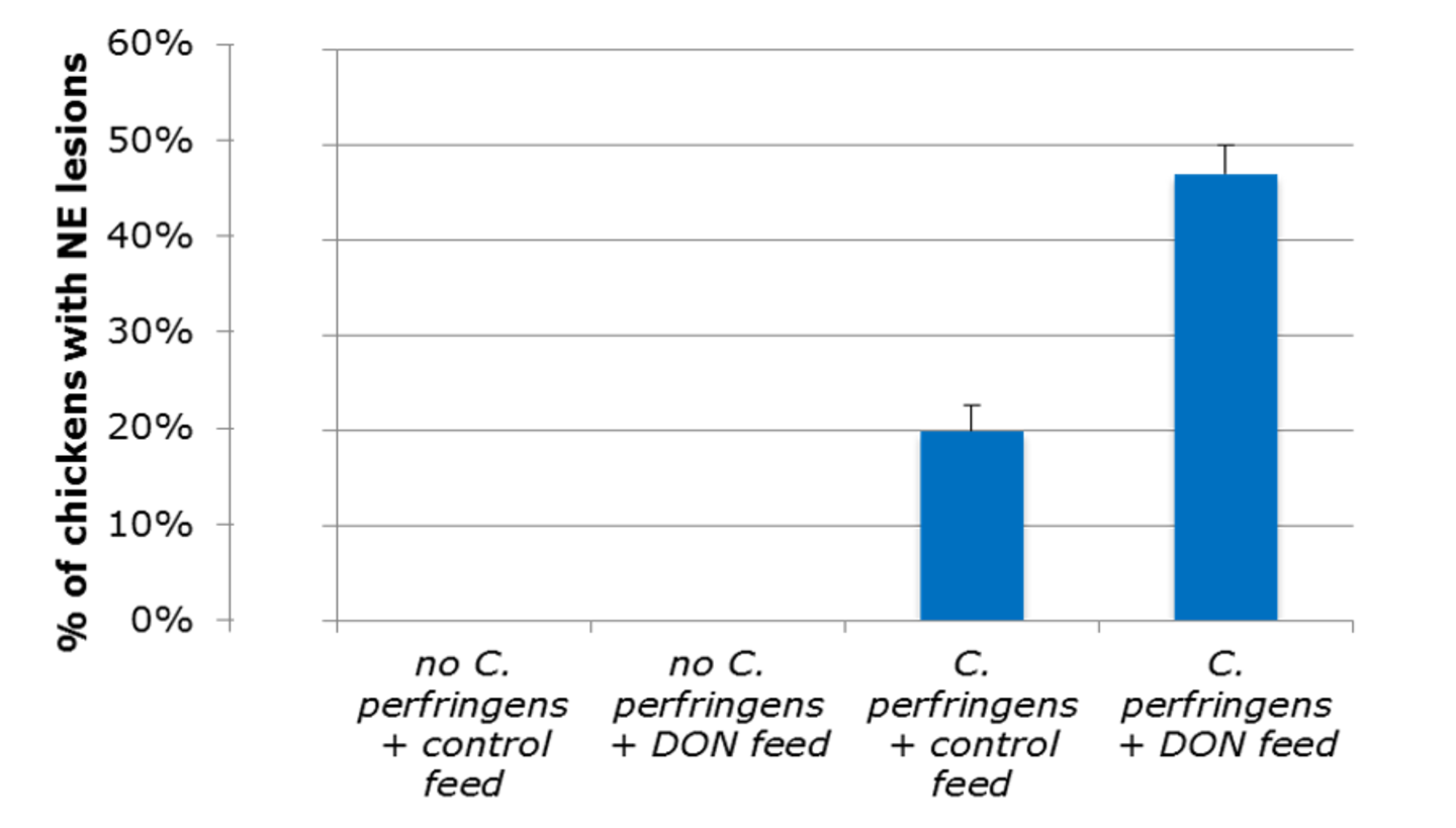 Figure 1. DON can increase the prevalence and also severity of necrotic enteritis lesions in chickens.