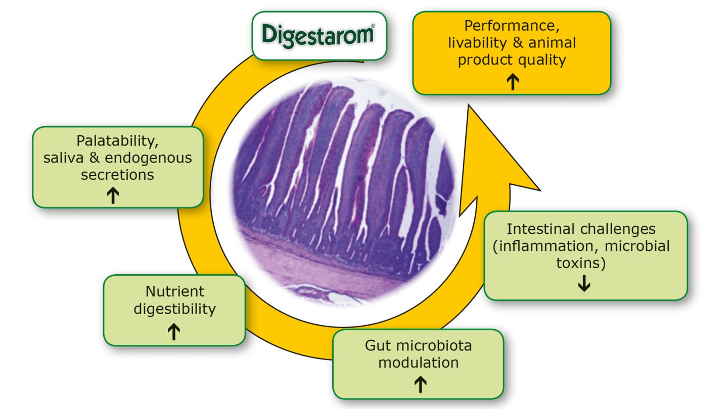 The science behind Digestarom® – Mode of action